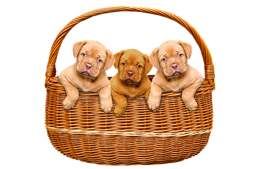 Animals, Dogs, Puppies, Basket, Bordeaux Mastiff, Cute