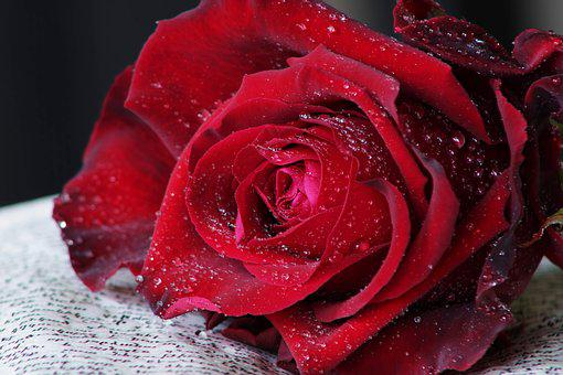 Red Rose, Book, Feeling, Passion, Rose, Flower, Drops
