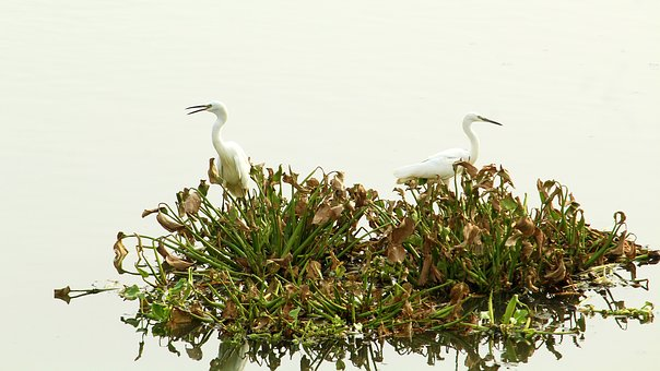 Little, Egret, Pair, Bird, Avian, Water, Water Bird