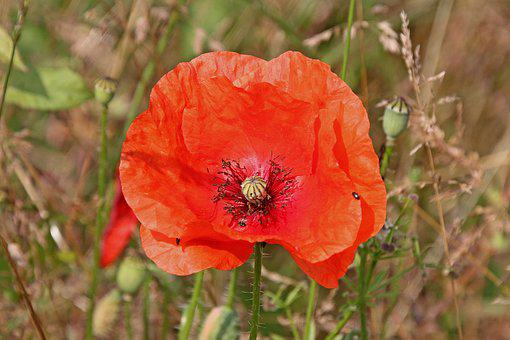Poppy, Flower, Nature, Field, Garden, Plant, Spring