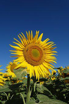 Sunflower, Yellow, Flower, Bloom, Plant, Agriculture