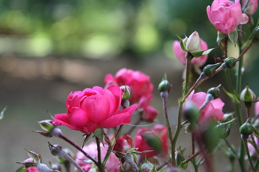 Nature, Flowers, Summer, Roses, Spring, Zoom