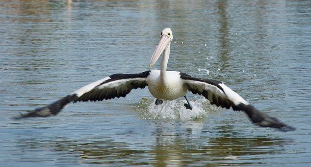 Pelican, Flying, Water, Flight, Bird, Nature