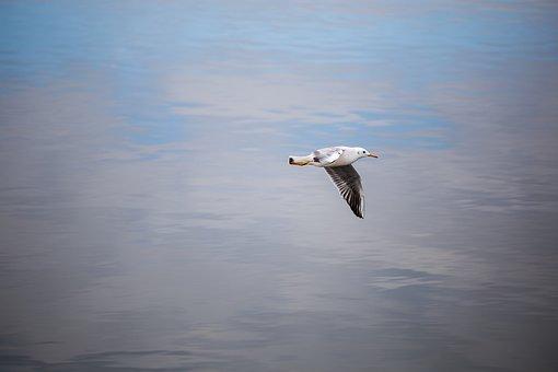 Seagull, Bird, Sea, Water, Lake, Flight, Nature, Blue