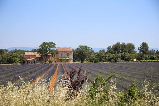 Lavender, Lavender Field, South Of France