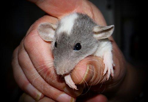 Rat, Color Rat, Rodent, Fur, Head, Mammal, Ears, Animal