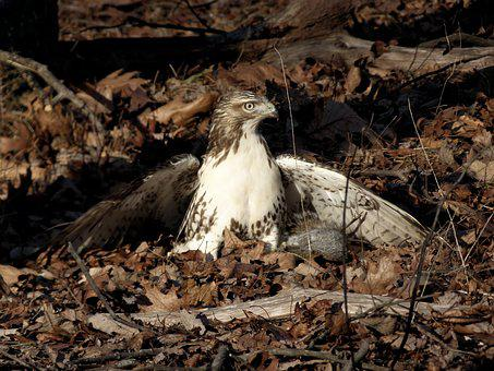Hawk, Squirrel, Hunting, Wilderness, Animals, Natural