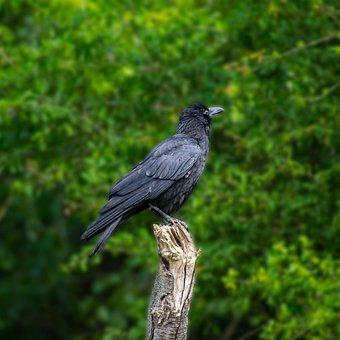 Bird, Raven, Crow, Black, Raven Bird, Nature, Feather