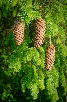 Pine Cones, Christmas Time, Green, Conifer, Holly