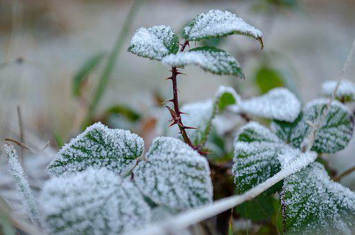 Frost, Thorns, Leaves, Winter, Nature, Ice, Cold, Plant