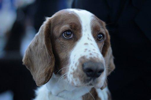Springer Spaniel, Welsh, Dog, Fur, Flocked, Portrait
