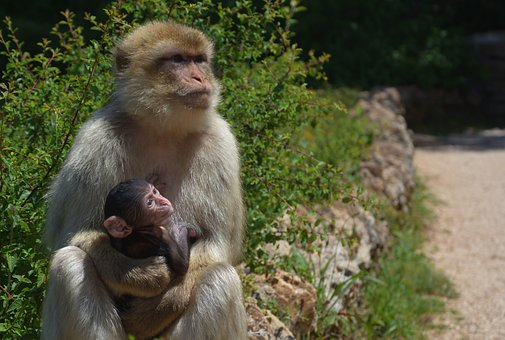 Waiting, Monkey, Primate, Ape, Mother And Son, Animals