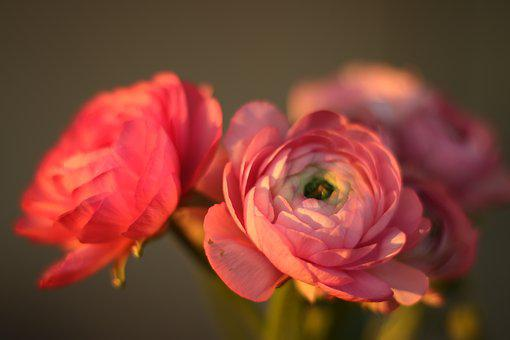 Flowers, Buttercups, Pink, Close Up, Romantic