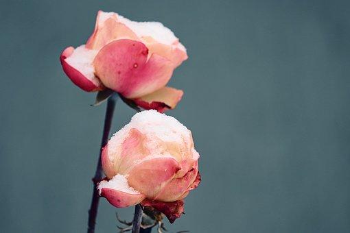 Rose, Rose Petals, Snow, Cold, Filled, Snowy, Petals