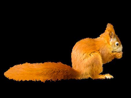 Animal, Squirrel, Possierlich, Close Up, Croissant