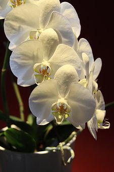 Orchid, Phalaenopsis, Tropical, White, Exotic, Flowers
