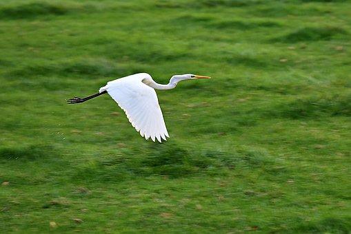 White Heron, Wading Bird, Animal, Flight, Flying, Wing