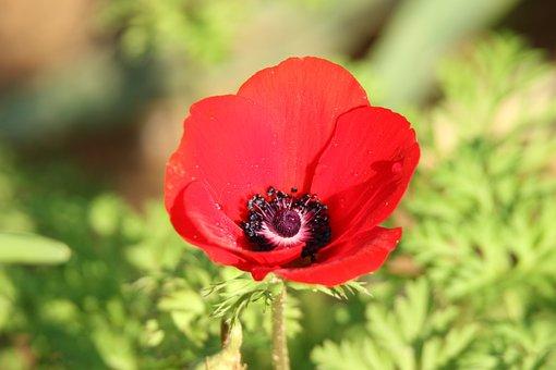 Flower, Anemone, Red, Bloom, Nature, Winter
