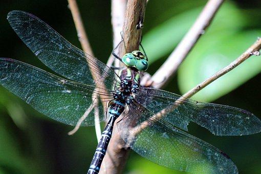 Dragonfly, Blue, Branch, Insect, Animal, Arthropod