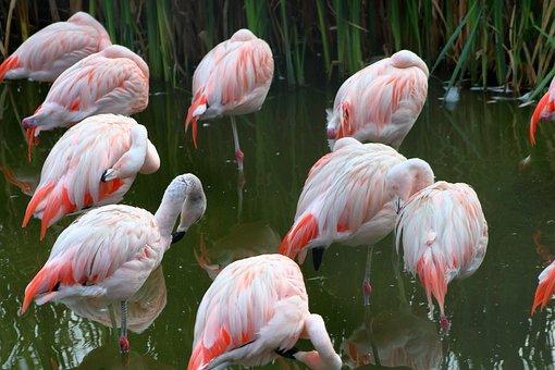 Flaming, Bird, Pink, Beautiful