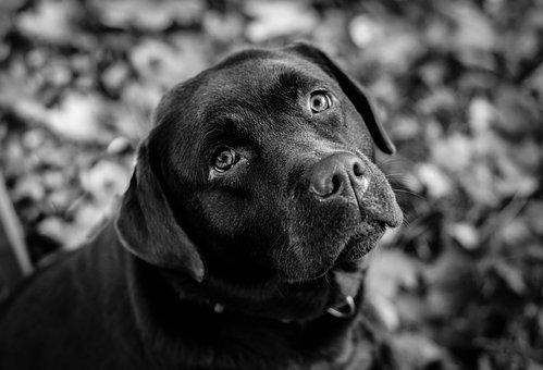 Dog, Labrador, Black And White, Pet, Animal, Cute