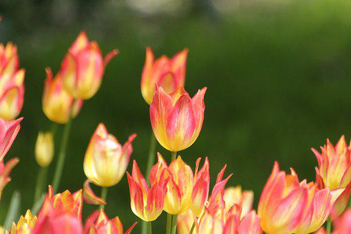 Tulips, Flowers, Nature, Bloom, Garden, Bright