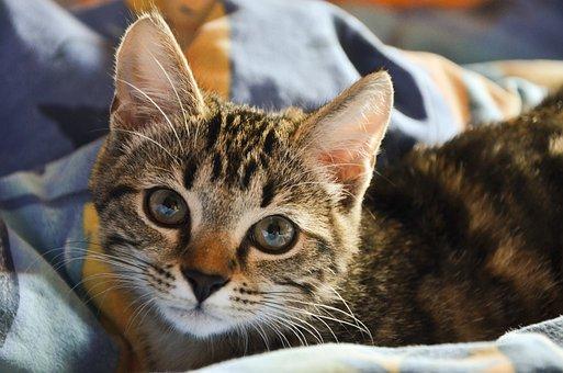 Cat, Blanket, Pet, Bed, Animal, Cute, Kitten, Eyes