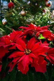 Poinsettia, Christmas Flower, Red Flower, Red