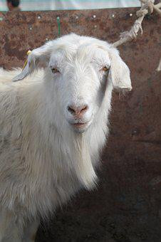 Goat, Farm, Animal, Domestic Goat, Agriculture