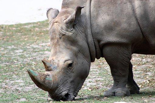 Rhino, Zoo, Feb, Animal, Wild, Nature