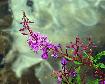 Common Fireweed, Flowers, Fireweed, Nature, Plant