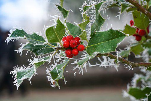 Winter, Ripe, Cold, Frozen, Wintry, Berries, Macro