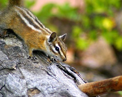 Fern Lake Trail Chipmunk, Rodent, Furry, Animal, Nature