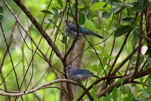 Gray Buckthorn, Papaya Sanhaço, Sanhaçu-gray