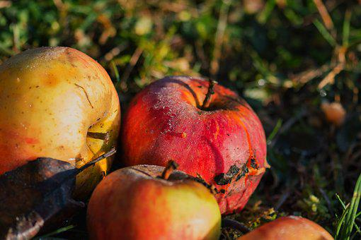 Apple, Windfall, Fruit, Healthy, Orchard, Meadow