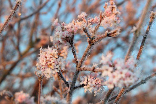 Blossom, Bloom, Hoarfrost, Winter, Nature, Cold, Frost