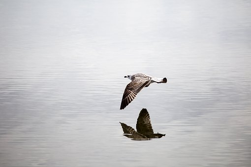 Bird, Seagull, Flight, Fly, In, Water, Over The Water
