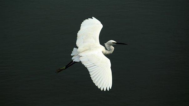 Little, Egret, Bird, Avian, Water, White, Beak, Neck