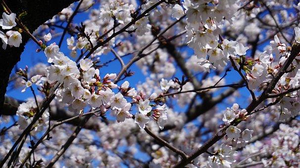 Cherry Blossom, Tree, Blossom, Spring, Pink, Bloom