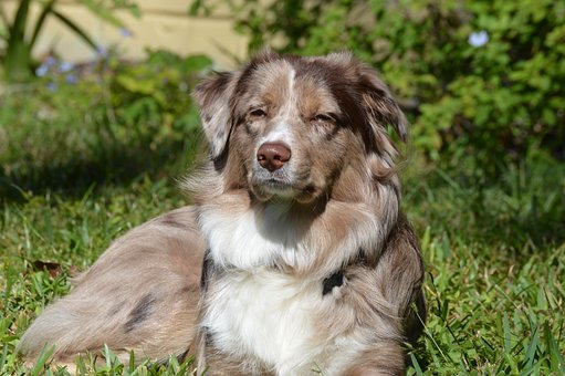 Dog, Aussie, Australian Shepherd, Puppy, Pet, Animal