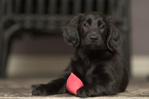 Flatcoated, Retriever, Dog, Black, Puppy, Hunting