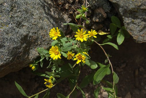 Hairy Falso Golden Aster, Rocky, Mountain, National