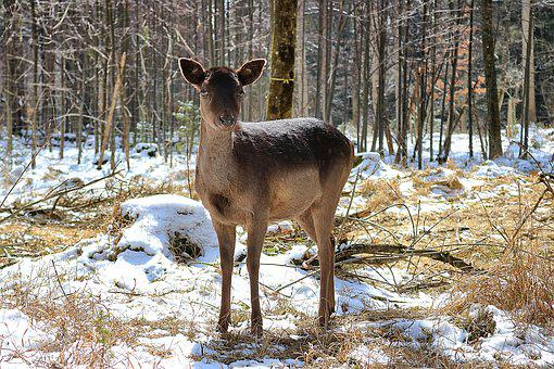 Roe Deer, Forest, Nature, Scheu, Landscape