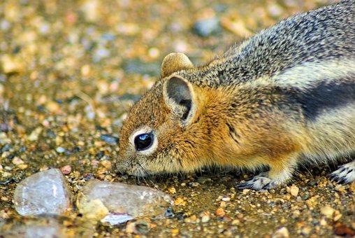 Squirrel Investigating Ice, Ground, Squirrel, Golden