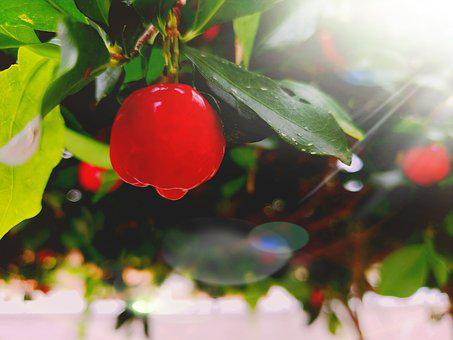 Acerola, Sunset, Orchard, Fruit
