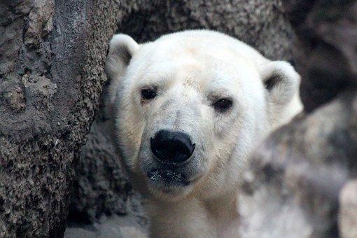 White Bear, Polar Bear, Ursus Maritimus, Portrait, View