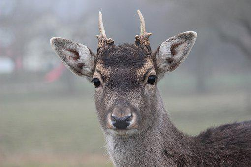 Roe Deer, Fallow Deer, Antler, Wild, Forest Animal
