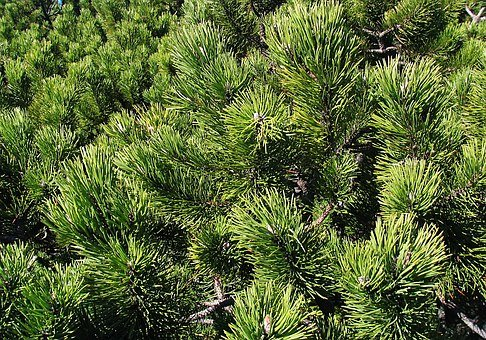 Mountain Pine, Babia Top, Beskids, Invoice