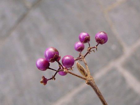 Chinese Schönfrucht, Beautiful Fruit, Berries, Purple