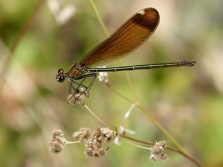 Dragonfly, Black Dragonfly, Translucent Wings